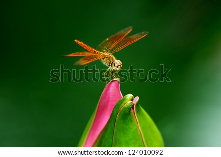 Close-Up of a Dragonfly Perched on a Perfect Unopened Lotus Blossom - stock photo