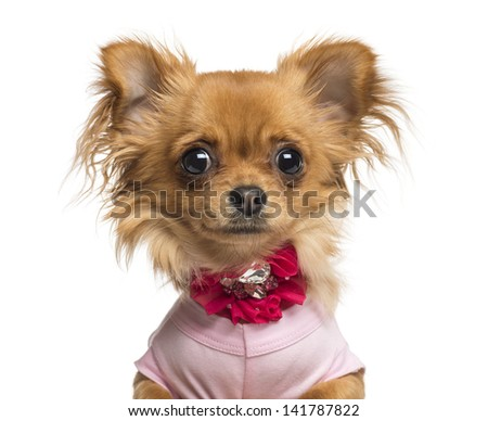 Close-up of a Dressed up Chihuahua, 10 months old, isolated on white