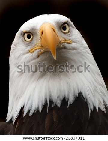 Close up of a Eagle