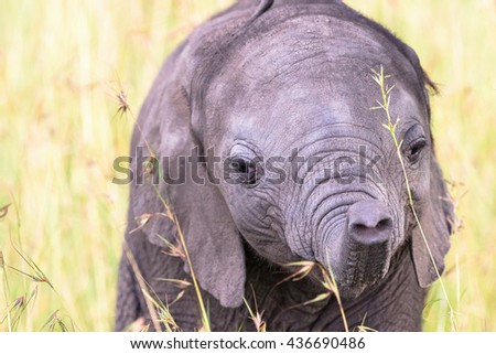Close up of a Elephant calf playing with his trunk - stock photo