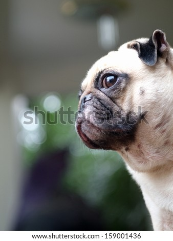 close up of a face of a small white pug with expression of thinking, lonely, sad, wisdom, waiting, visionary - stock photo