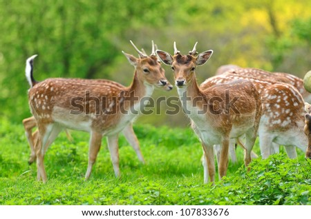 Close up of a Fallow Deer buck (Dama dama) in forest - stock photo