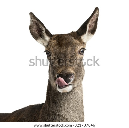 Close-up of a female red deer in front of a white background - stock photo