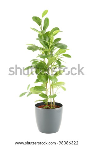Close-up of a ficus in flowerpot.  Plant in a pot. Isolated on white background