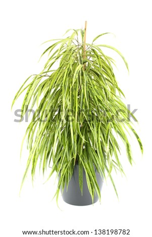 Close-up of a ficus tree.  Plant in a pot. Isolated - stock photo
