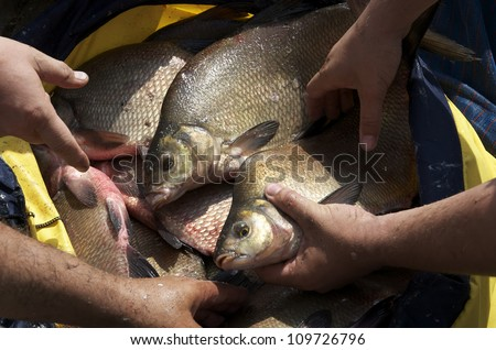 Close up of a fishing net full of big breams - stock photo