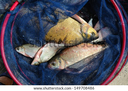 Close up of a fishing net with big breams - stock photo