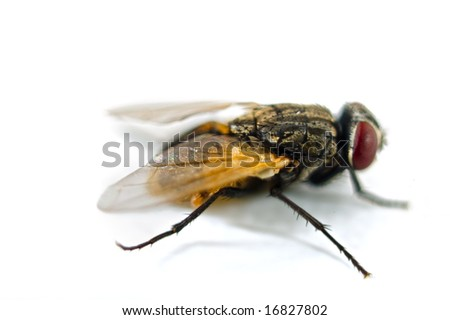 close up of a fly isolated on white - stock photo