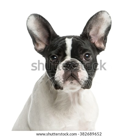 Close-up of a French Bulldog in front of a white background - stock photo