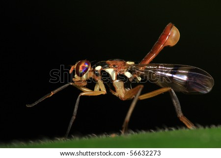 Close up of a fruit fly in in pheromoning position - stock photo