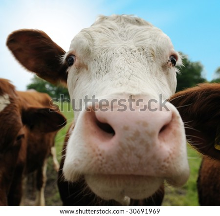 Close-up of a funny cow on on farmland in the Netherlands