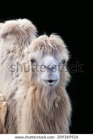 Close-up of a funny smiling camel head  - stock photo