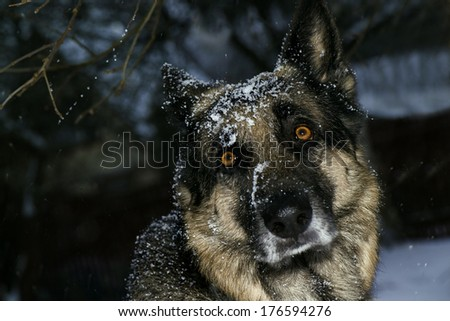 close up of a German Shepherd dog outdoors in bad weather - stock photo