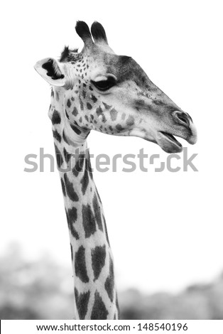 Close up of a giraffe head in black and white - stock photo
