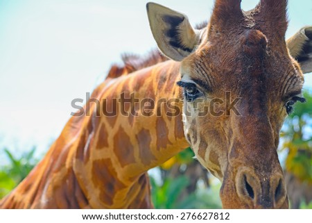 close up of a giraffe snout  - stock photo