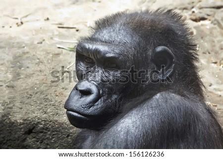 close up of a gorilla - stock photo