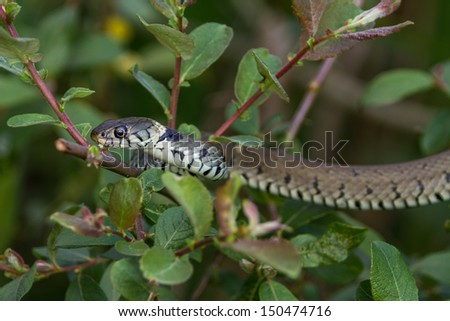 Close up of a Grass Snake in vegetation - stock photo