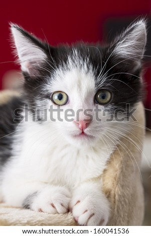 Close-up of a gray black baby cat looking away domestic animal