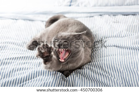 Close up of a Gray Cat Relaxing on Blue Striped Sheet. Scary Yawn. - stock photo