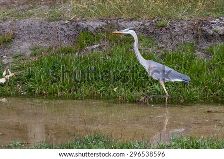 close up of a great blue heron walking shallow water in the California coast - stock photo