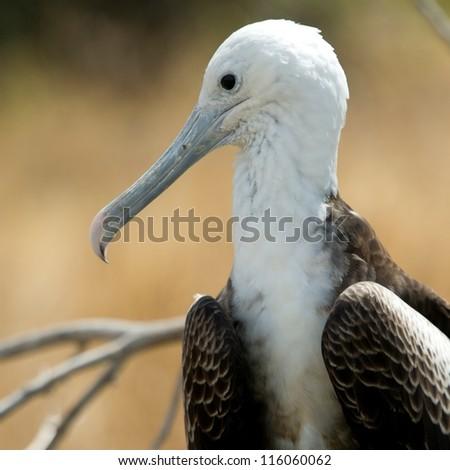 Close-up of a Great frigatebird (Fregata Minor), North Seymour Island, Galapagos Islands, Ecuador - stock photo