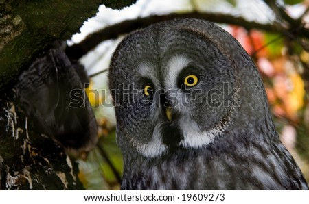 close-up of a Great Grey Owl or Lapland Owl (Strix nebulosa)