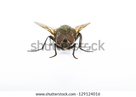 Close up of a Green Bottle House Fly taken head on on a plain background - stock photo