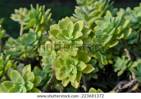 Close Up of a Green Cactus Succulent Plant - stock photo