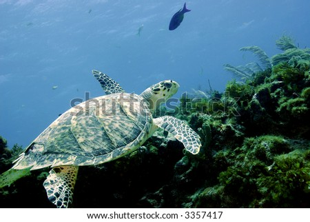 Close-up of a Green Sea Turtle over coral reef