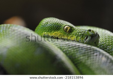 close-up of a green snake - stock photo