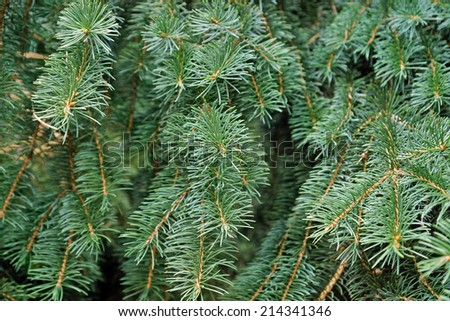 Close up of a green spruce tree. - stock photo