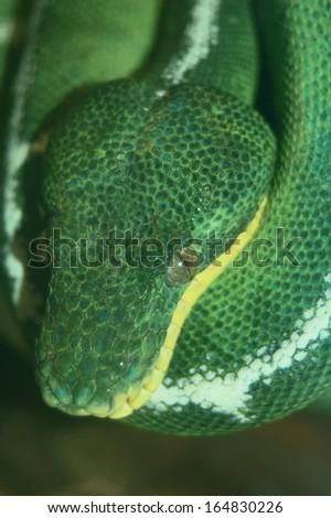 Close up of a Green Tree Boa - stock photo
