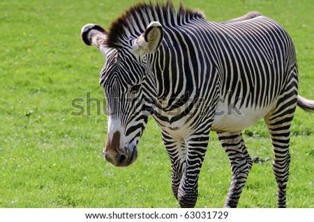 Close up of a Grevys Zebra (Equus grevyi) - stock photo
