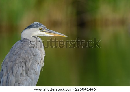 Close up of a Grey Heron (Ardea cinerea)