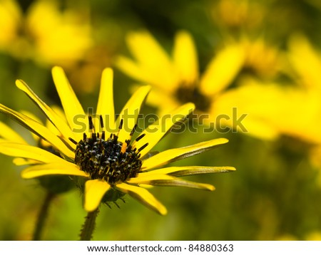close up of a group of beautiful south african yellow flowers of Cape weed (Arctotheca calendula) - stock photo