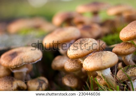 Close-up of a group of Hypholoma fasciculare mushrooms