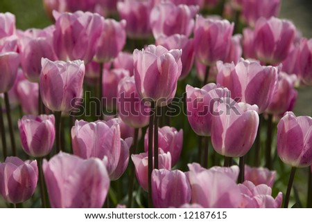 Close-up of a group of pink tulips at the Skagit Valley Tulip Festival. - stock photo