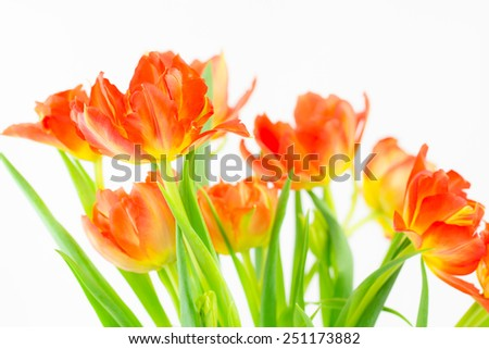 Close up of a group of vivid bi-colored orange and yellow  tulips - stock photo
