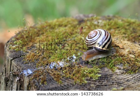 Close-up of a Grove Snail (Cepaea nemoralis) as it slithers across a mossy tree stump. - stock photo