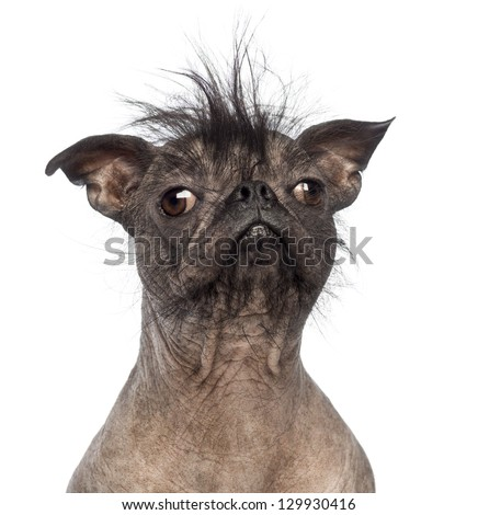 Close-up of a Hairless Mixed-breed dog, mix between a French bulldog and a Chinese crested dog, in front of white background - stock photo