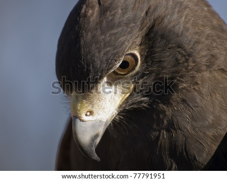 Close up of a Harris Hawk - stock photo