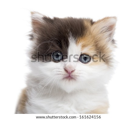 Close-up of a Highland straight kitten looking at the camera, isolated on white