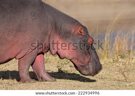 Close-up of a hippopotamus (Hippopotamus amphibius) outside the water, South Africa - stock photo