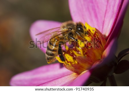 Close-Up of a Honey Bee on a Pink Flower