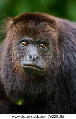 close up of a howler monkey in the wild, Belize. - stock photo