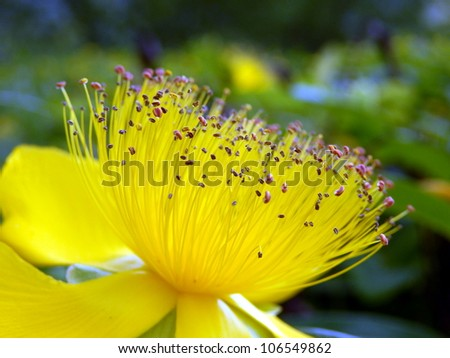 Close up of a Hypericum calcium flower aka Rose of Sharon - stock photo