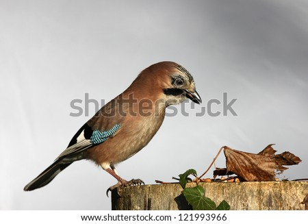 Close up of a Jay eating peanuts on a tree stump in autumn