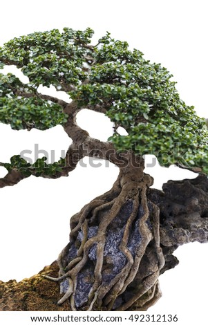 Close up of a knobby trunk of an old Snowrose Bonsai tree