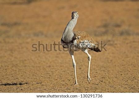 Close-up of a Kori bustard walking in dry riverbed; Ardeotis kori - stock photo