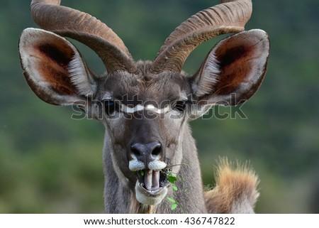 Close up of a Kudu bull - stock photo
